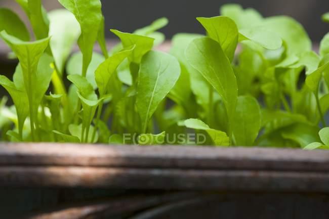 Plantas de foguete crescendo na panela — Fotografia de Stock