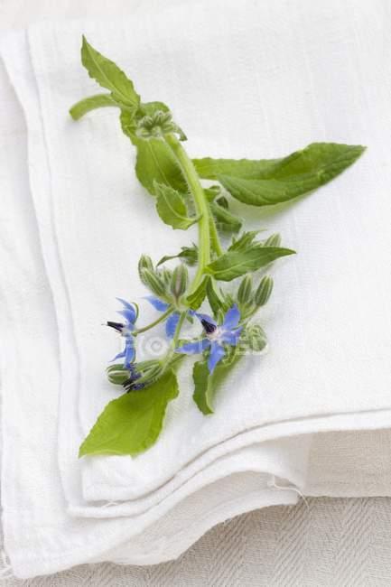 Крупным планом зрения цветения огуречника на белой льняной ткани — стоковое фото