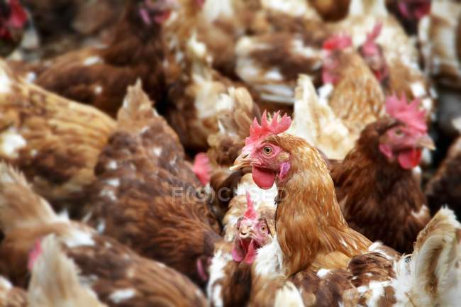 Vista del primo piano di affollamento galline marrone e bianche — Foto stock