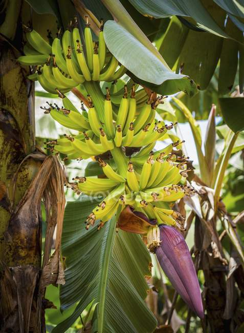 Bananas growing on plant — Stock Photo