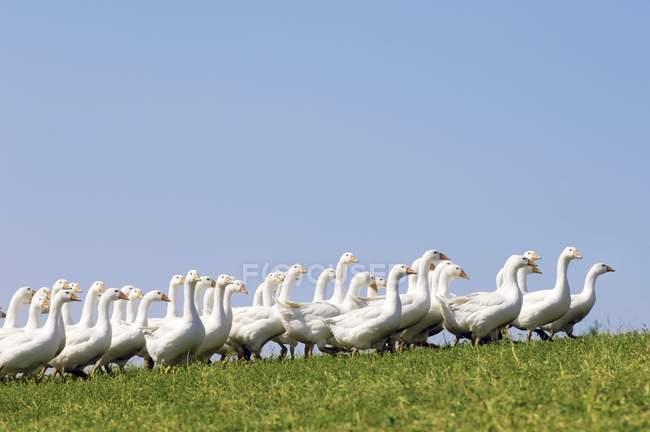 Vista laterale durante il giorno delle oche ruspanti che cammina sull'erba — Foto stock