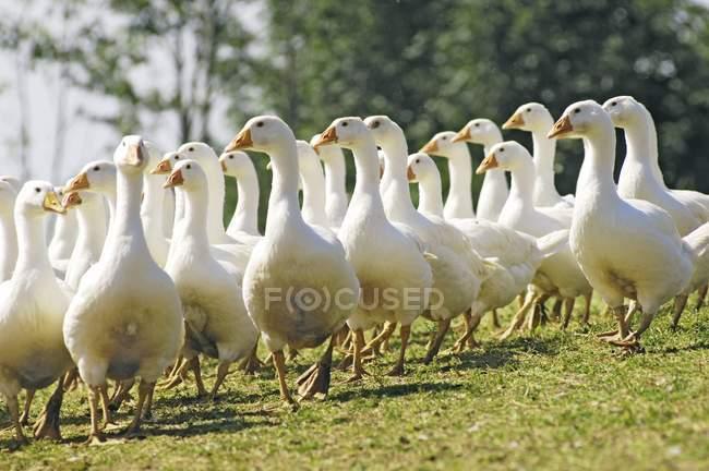Vista di giorno di oche ruspanti che cammina sull'erba — Foto stock