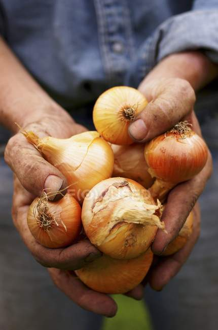 A man with dirty hands holding freshly harvested onions — Stock Photo