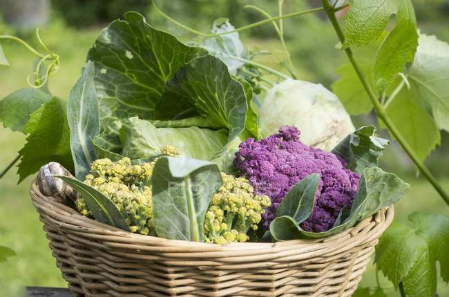 Different types of fresh picked cabbages — Stock Photo