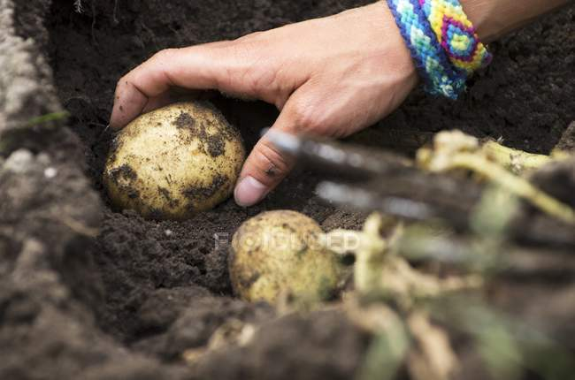 Potatoes being harvested while  hand picking a potato from the ground — Stock Photo
