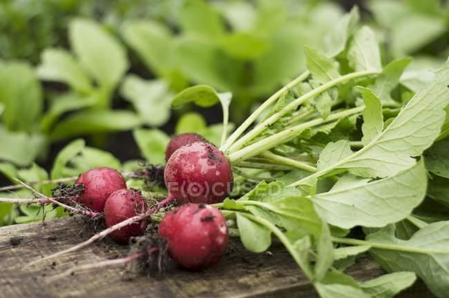 Freshly harvested radishes — Stock Photo