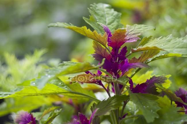 Crescimento no jardim das plantas de espinafre — Fotografia de Stock