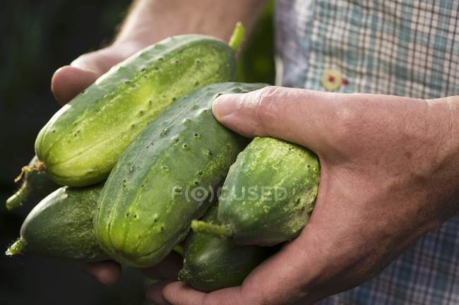 Man holding pickling cucumbers — Stock Photo