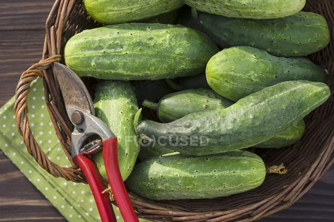 Harvested cucumbers on basket — Stock Photo