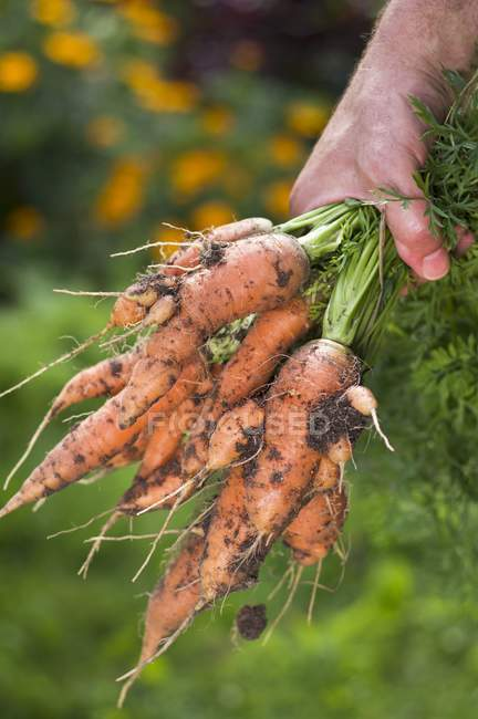 Man holding bunch of carrots — Stock Photo