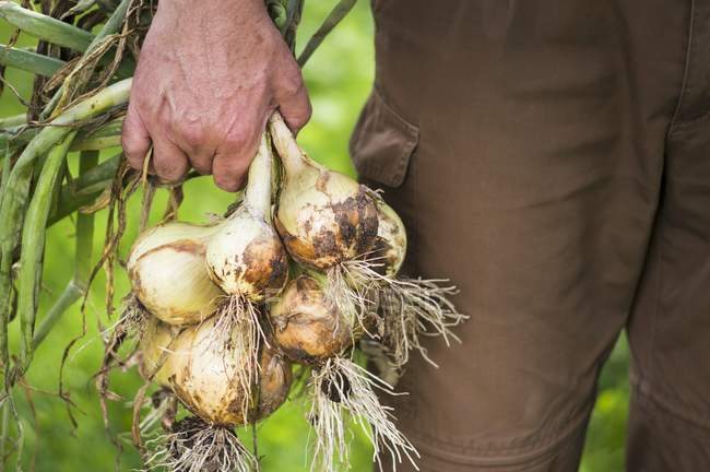 A man in a garden holding freshly harvested onions — Stock Photo