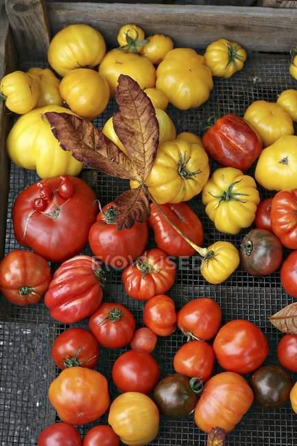 Colorful ripe tomatoes — Stock Photo