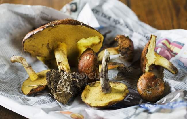 Свежие свиные грибы — стоковое фото