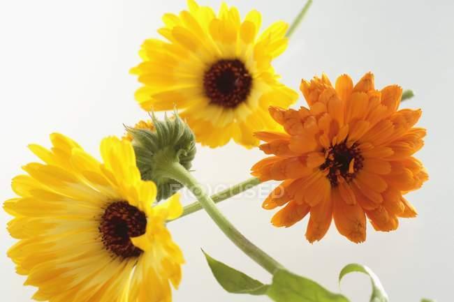 Крупним планом подання жовті та оранжеві квіти календули — стокове фото