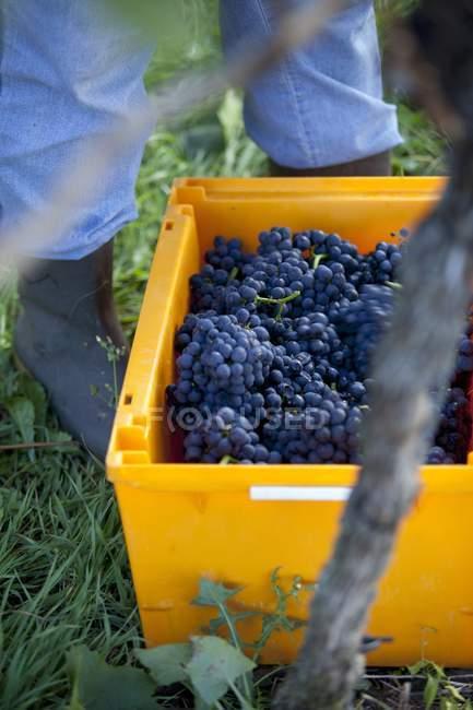 Fresh picked pinot noir grapes — Stock Photo