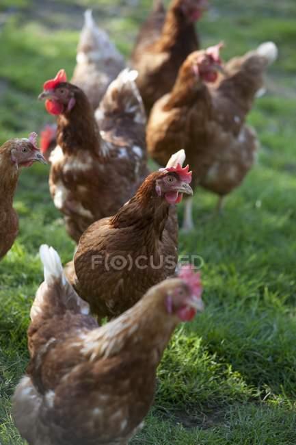 Днем представления кур, стоя на траве — стоковое фото