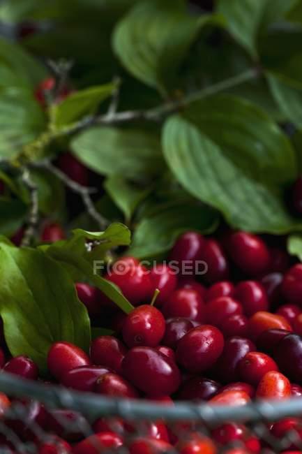Closeup vista de cerejas frescas de Cornalina com folhas em uma cesta de arame — Fotografia de Stock