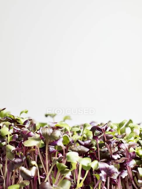 Brotes de rábanos frescos - foto de stock