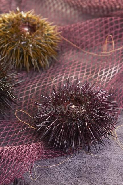 Vista de closeup de ouriços do mar na net-de-rosa — Fotografia de Stock