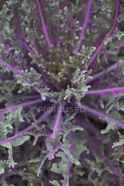 Фіолетовий капуста росте в поле — стокове фото
