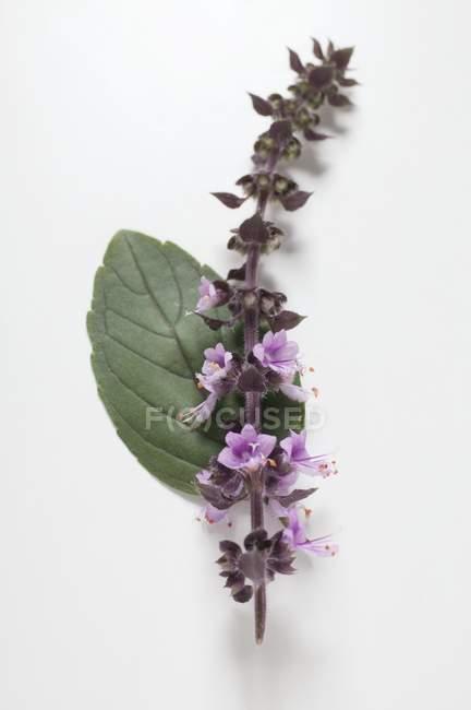Spike василька з фіолетовими квітами — стокове фото
