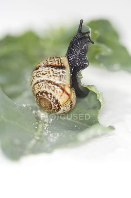 Vue rapprochée d'un escargot rampant sur la feuille de chou — Photo de stock