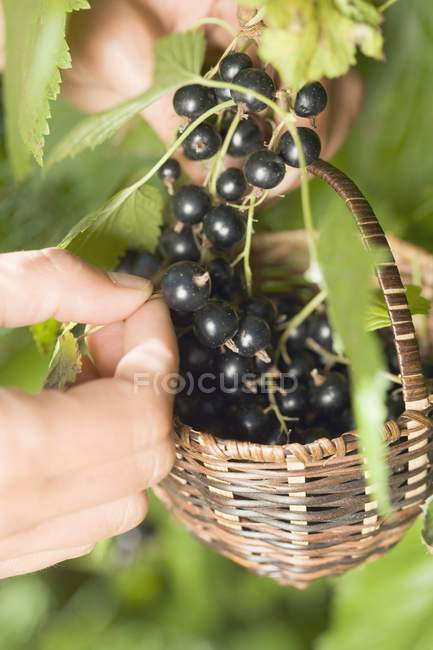 Hands picking blackcurrants — Stock Photo