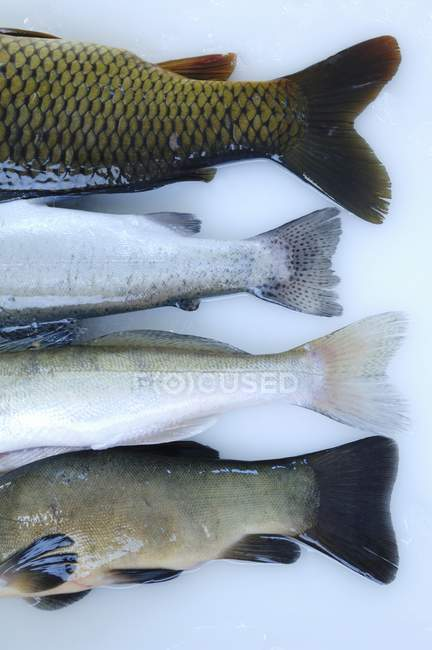Tail fins of different freshwater fish — Stock Photo
