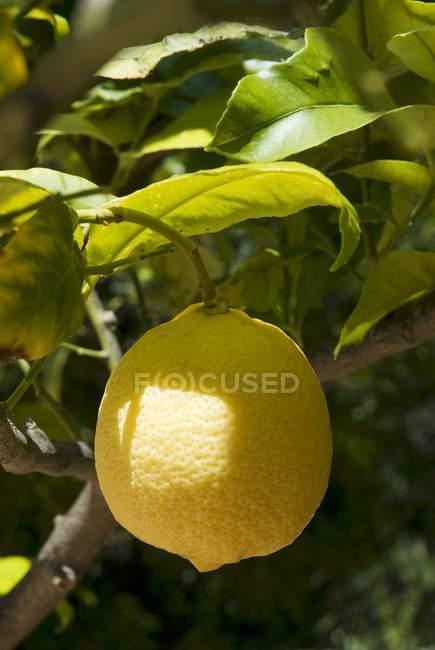 Zitrone wächst auf Baum — Stockfoto