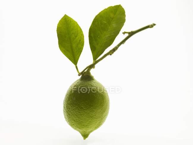Unreife Zitrone auf Zweig — Stockfoto
