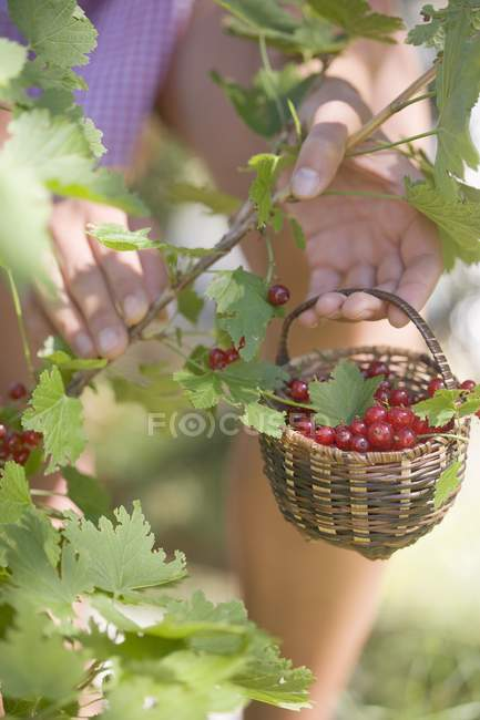 Woman picking redcurrants — Stock Photo