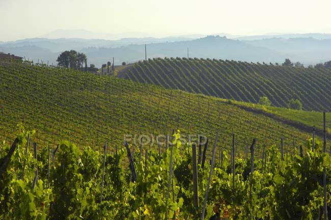 Daytime view of vineyard of Villa Pillo Estate, Tuscany, Italy — Stock Photo