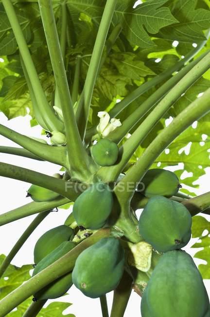 Папайя, ростуть на дереві — стокове фото