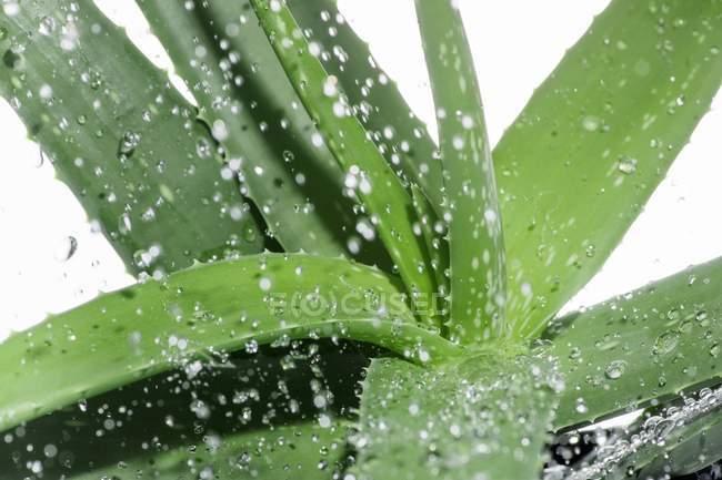 Aloe vera con goccioline d'acqua — Foto stock