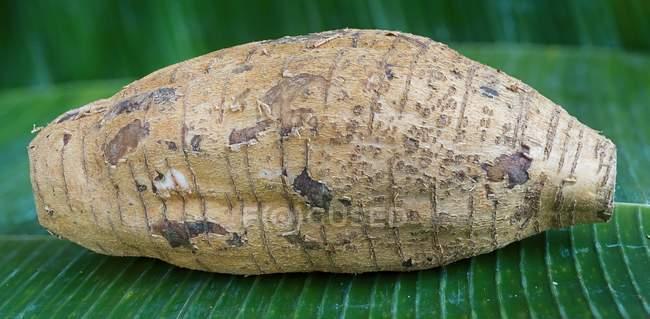 Maranta root - Maranta arundinacea laying on green leaf outdoors — Stock Photo