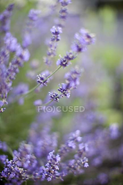 Daytime closeup view of blooming Lavender branches outdoors — Stock Photo