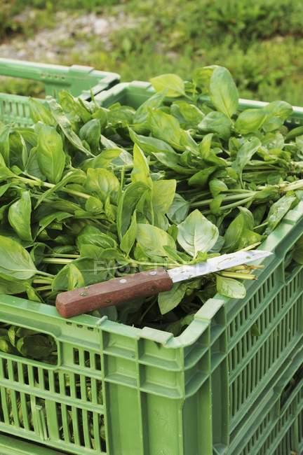 Freshly harvested basil — Stock Photo