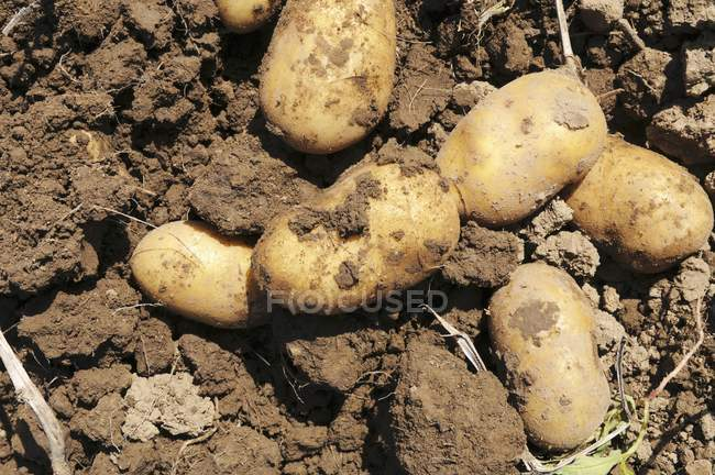 Freshly harvested potatoes on the soil outdoors during daytime — Stock Photo