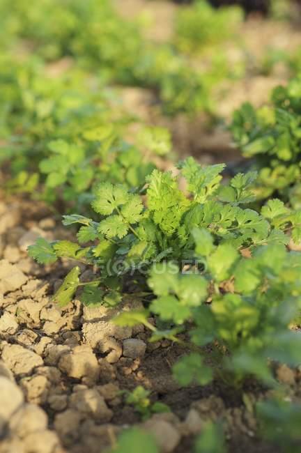 Coriander growing in field — Stock Photo