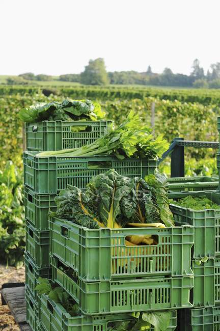 Freshly harvested vegetables in plastic crates by a field of vegetables — Stock Photo