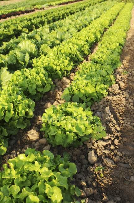 Oak leaf and Batavia lettuce — Stock Photo