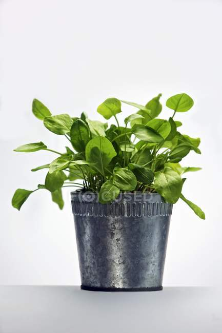 Sorrel in a flowerpot on white background — Stock Photo
