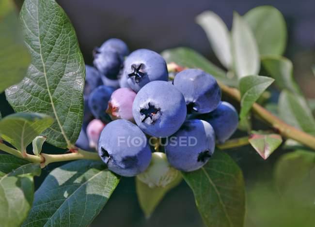 Blueberries on bush, close-up — Stock Photo