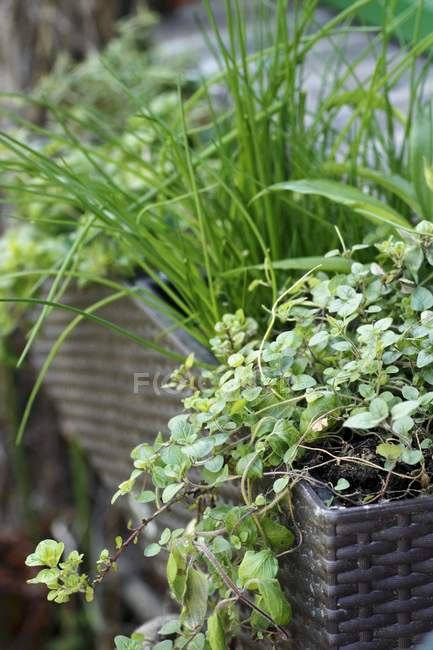 Closeup view of fresh herbs in a window box — Stock Photo