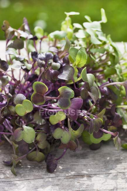 Brotes de rabanito Sango - foto de stock