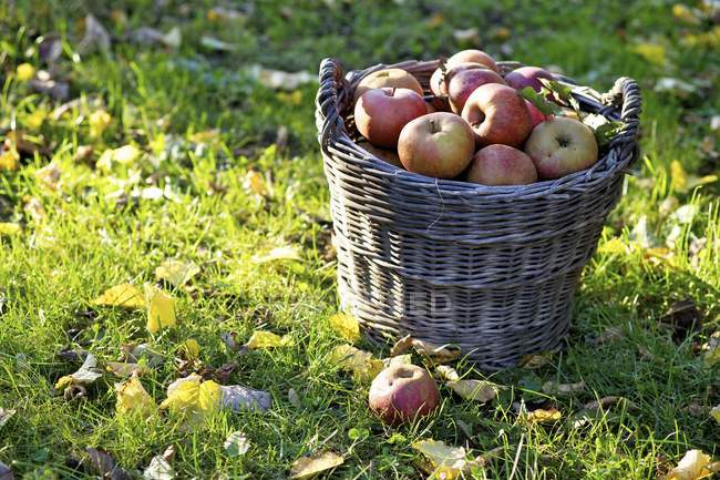 Fresh picked Boskoop apples — Stock Photo