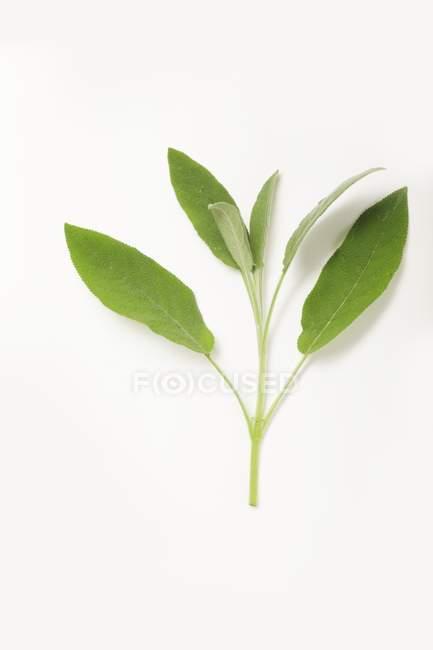 Fresh Sage sprig — Stock Photo
