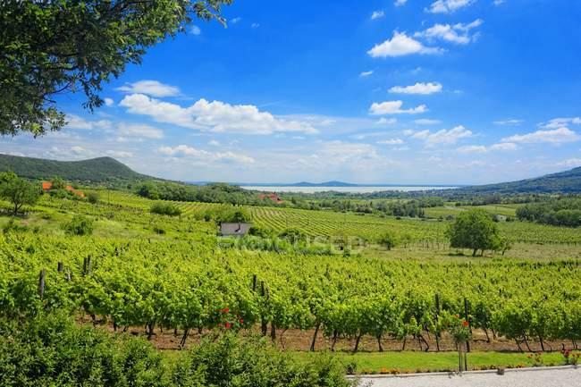 Панорамный вид на винодельческом регионе Бадачонь, озеро Балатон, Венгрия — стоковое фото