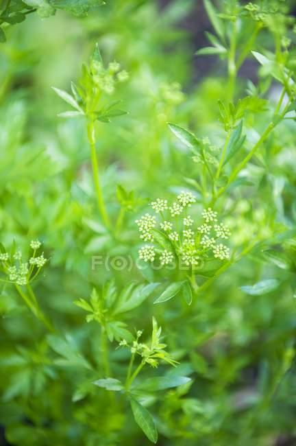 Perejil florece en jardín - foto de stock
