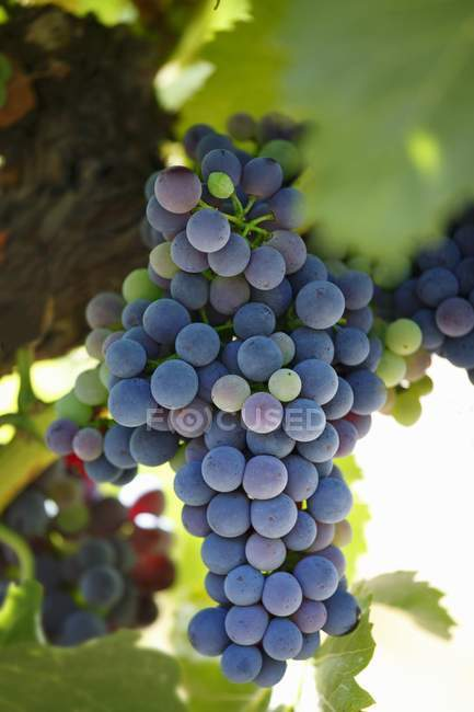 Grapes growing on plant — Stock Photo